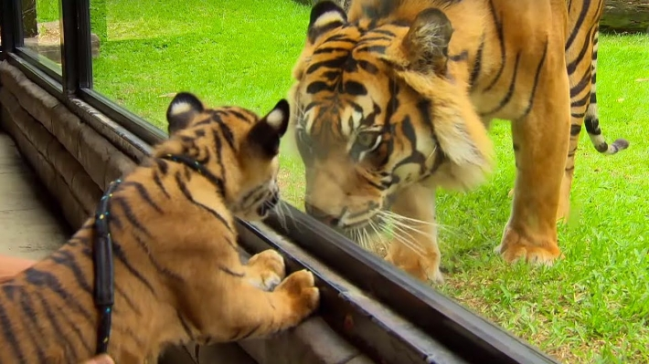 Cubs Meet Adult Tiger for the First Time