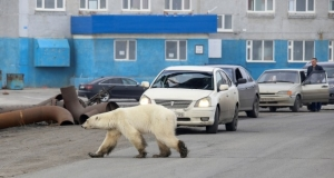 Polar bear covered 1,500 km in search of food